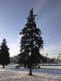 Near the Peoples Friendship Fountain: Blue spruces