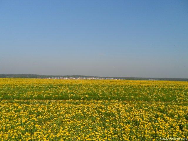 Dandelion field near Moscow