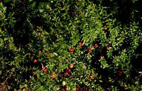 Cranberry (Klyukva)